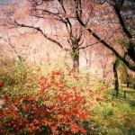 Sakuramadelica2012-2