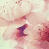 Avatar: sakura blossom